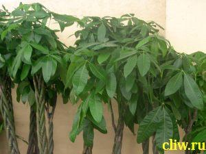 Пахира водная (pachira aquattica) бомбаксовые (bombacaceae)