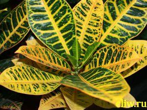 Кодиеум пестрый (codiaeum variegatum var. pictum) молочайные (euphorbiaceae) petra