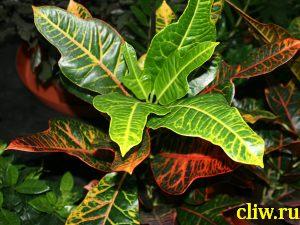 Кодиеум пестрый (codiaeum variegatum var. pictum ) молочайные (euphorbiaceae) exellent