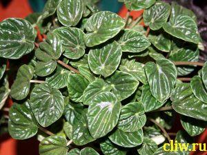 Пеперомия сморщенная (peperomia caperata) перцевые (piperaceae)