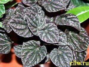 Пеперомия сморщенная (peperomia caperata) перцевые (piperaceae) red luna