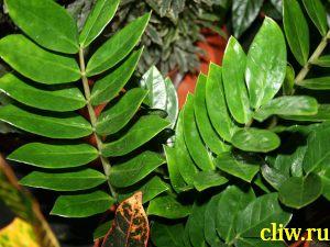 Замиокулькас zamioculcas (замиелистный zamiifolia) ароидные (araceae)