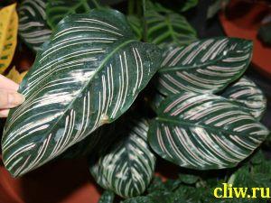 Калатея украшенная (calathea ornata var. roseo-lineata ) марантовые (marantaceae)