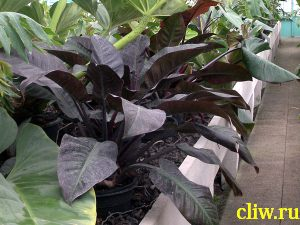 Филодендрон краснеющий (philodendron erubescens) аралиевые (araceae) imperial red