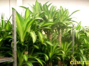 Драцена душистая (dracaena fragrans) драценовые (dracaenaceae) massangeana