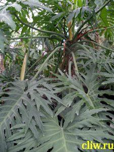 Филодендрон селло (philodendron selloum) ароидные (araceae)