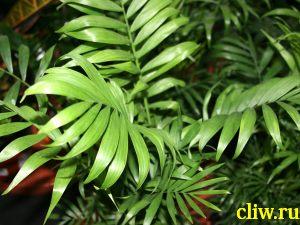 Хамедорея изящная (chamaedorea elegans) пальмовые (arecaceae)