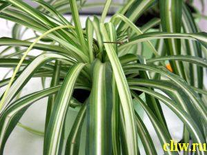 Хлорофитум хохлатый (chlorophytum  comosum) антериковые (anthericaceae) vittatum