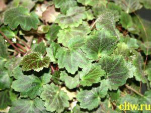 Камнеломка плетеносная (saxifraga sarmentosa) камнеломковые (saxifragaceae)