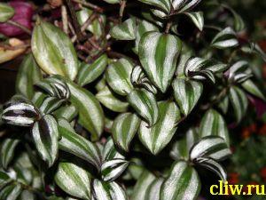 Зебрина висячая (zebrina  pendula) коммелиновые (commelinaceae)