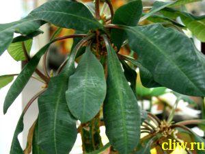 Молочай гребенчатый (euphorbia lophogona) молочайные (euphorbiaceae)