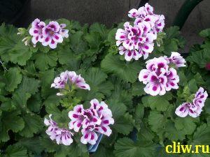 Пеларгония домашняя (pelargonium domesticum ) гераниевые (geraniaceae)