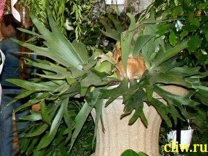 Платицериум двувильчатый (platycerium bifurcatum var. bifurcatum) полиподиевые (polypodiaceae)