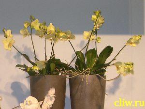Фаленопсис гибридный (phalaenopsis  hybridum) орхидные (orchidaceae)