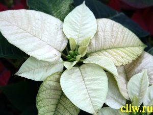 Молочай прекраснейший (euphorbia pulcherrima) молочайные (euphorbiaceae)