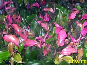 Антуриум андре (anthurium andraeanum) аралиевые (araceae)