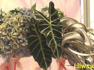 Алоказия амазонская (alocasia amazonica) ароидные (araceae)