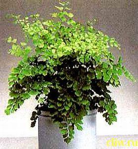 Адиантум венерин волос (adiantum capillus-veneris) адиатовые (adiantaceae)