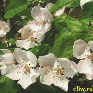 Айва обыкновенная (cydonia oblonga) розоцветные (rosaceae) краснодарская крупноплодная