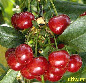 Вишня обыкновенная (prunus cerasus) розоцветные (rosaceae) багряная