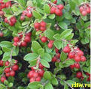 Брусника обыкновенная (vaccinium vitis-idaea) вересковые (ericaceae) костромичка