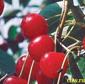 Вишня обыкновенная (cerasus cerasus) розоцветные (rosaceae) любская