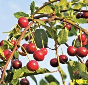 Вишня обыкновенная (cerasus cerasus) розоцветные (rosaceae) молодежная