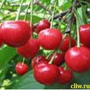 Вишня обыкновенная (cerasus cerasus) розоцветные (rosaceae) превосходная веньяминова
