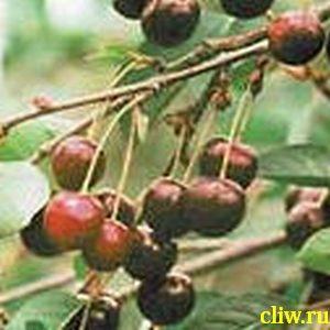 Вишня обыкновенная (cerasus cerasus) розоцветные (rosaceae) владимирская