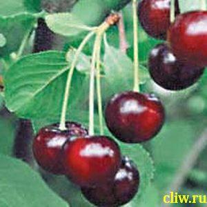 Вишня обыкновенная (cerasus cerasus) розоцветные (rosaceae) шубинка