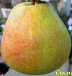 Груша обыкновенная (pyrus communis) розоцветные (rosacea) бере диль