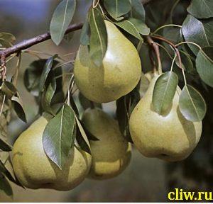 Груша обыкновенная (pyrus communis) розоцветные (rosaceae) долгожданная