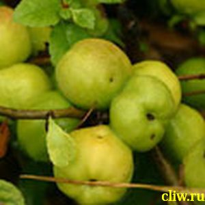 Хеномелес японский (chaenomeles japonica) розоцветные (rosaceae)