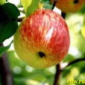 Яблоня домашняя (malus domestica) розоцветные (rosaceae) анис алый