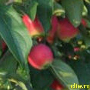 Яблоня домашняя (malus domestica)  () алтайское багряное