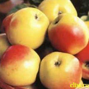Яблоня домашняя (malus domestica) розоцветные (rosaceae) память мичурина