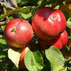 Яблоня домашняя (malus domestica) розоцветные (rosaceae) пепин шафранный