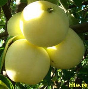 Яблоня домашняя (malus domestica) розоцветные (rosaceae) папировка (белый налив)