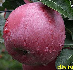 Яблоня домашняя (malus domestica) розоцветные (rosaceae) спартан