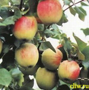 Яблоня домашняя (malus domestica) розоцветные (rosaceae) юдилей москвы