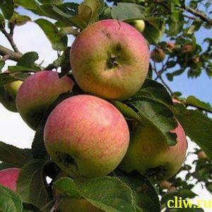 Яблоня домашняя (malus domestica) розоцветные (rosaceae) анис полосатый