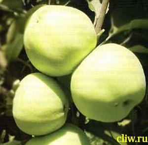 Яблоня домашняя (malus domestica) розоцветные (rosaceae) антоновка обыкновенная