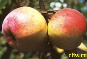Яблоня домашняя (malus domestica) розоцветные (rosaceae) болотовское