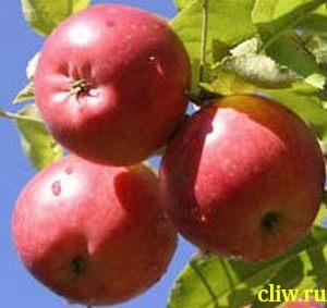 Яблоня домашняя (malus domestica) розоцветные (rosaceae) веньяминовское