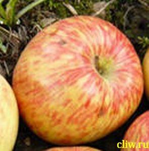 Яблоня домашняя (malus domestica) розоцветные (rosaceae) грушовка московская