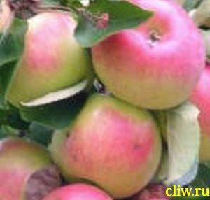 Яблоня домашняя (malus domestica) розоцветные (rosaceae) жигулевское