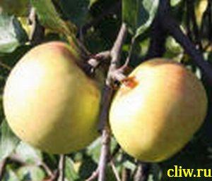 Яблоня домашняя (malus domestica) розоцветные (rosaceae) имрус