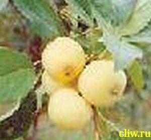 Яблоня домашняя (malus domestica) розоцветные (rosaceae) китайка золотая