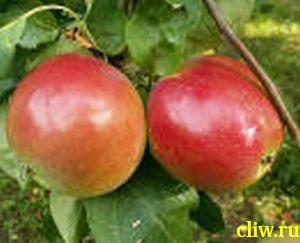 Яблоня домашняя (malus domestica) розоцветные (rosaceae) квинти