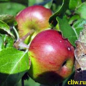 Яблоня домашняя (malus domestica) розоцветные (rosaceae) лобо